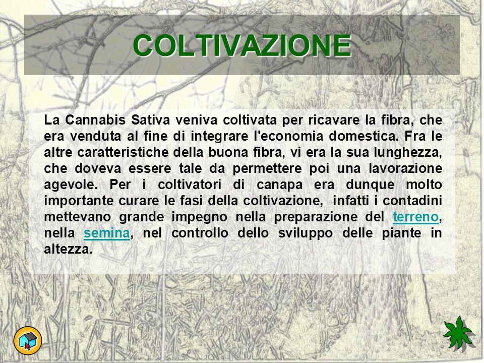 COLTIVAZIONE La Cannabis Sativa veniva coltivata per ricavare la fibra, che era venduta al fine di integrare l'economia domestica. Fra le altre caratt