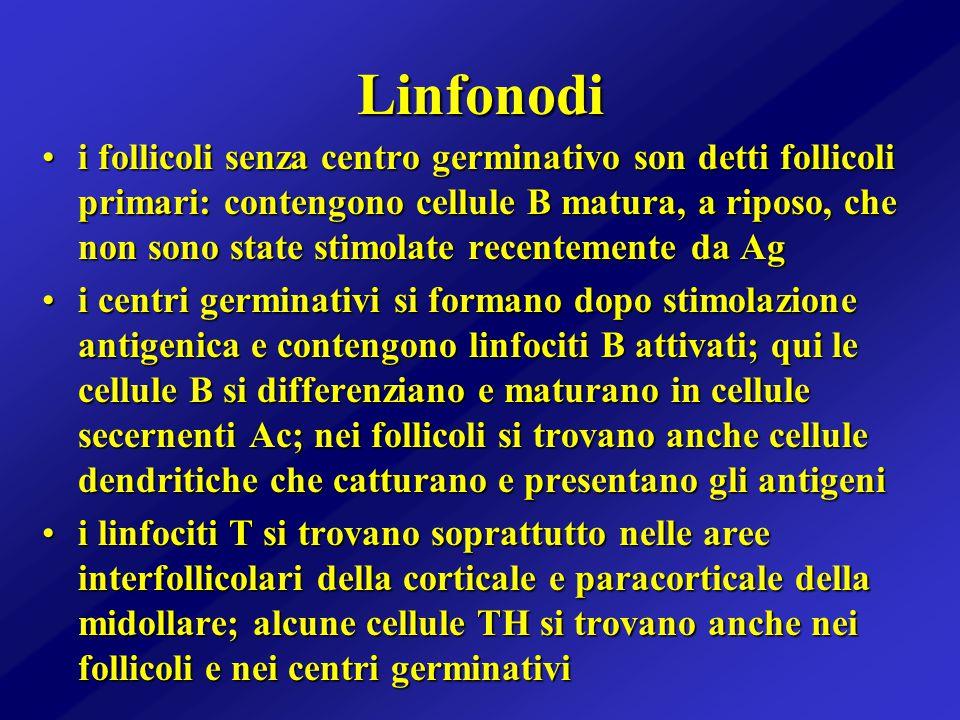 Linfonodi i follicoli senza centro germinativo son detti follicoli primari: contengono cellule B matura, a riposo, che non sono state stimolate recent