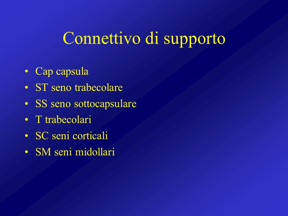 Connettivo di supporto Cap capsula ST seno trabecolare SS seno sottocapsulare T trabecolari SC seni corticali SM seni midollari