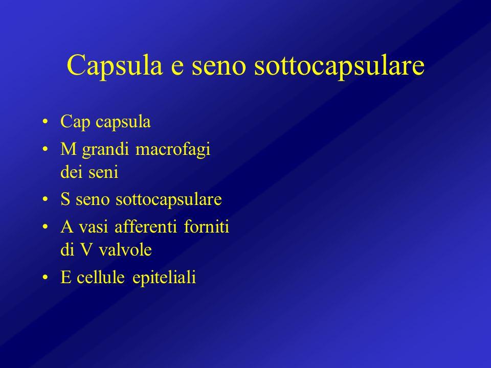 Capsula e seno sottocapsulare Cap capsula M grandi macrofagi dei seni S seno sottocapsulare A vasi afferenti forniti di V valvole E cellule epiteliali