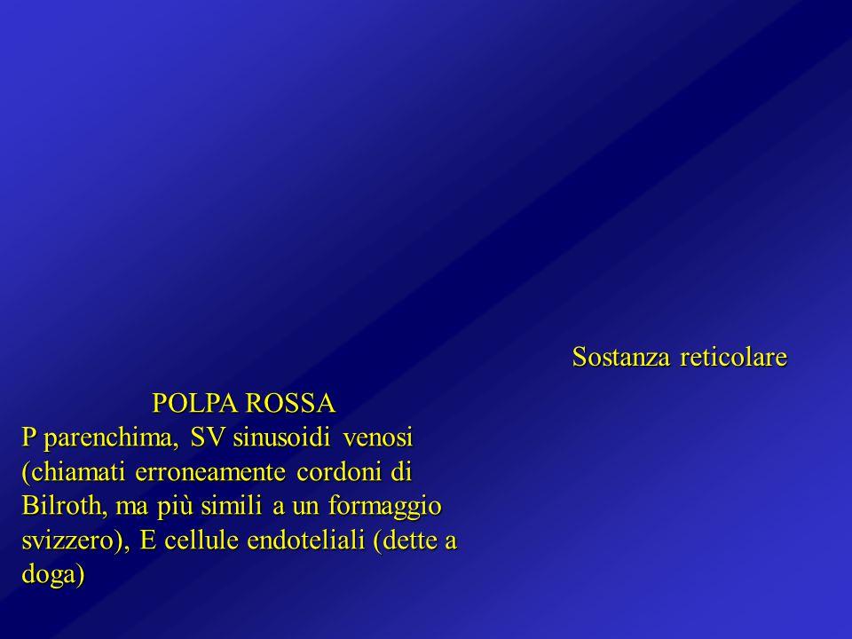 POLPA ROSSA P parenchima, SV sinusoidi venosi (chiamati erroneamente cordoni di Bilroth, ma più simili a un formaggio svizzero), E cellule endoteliali
