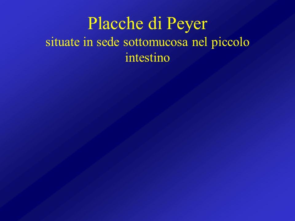 Placche di Peyer situate in sede sottomucosa nel piccolo intestino