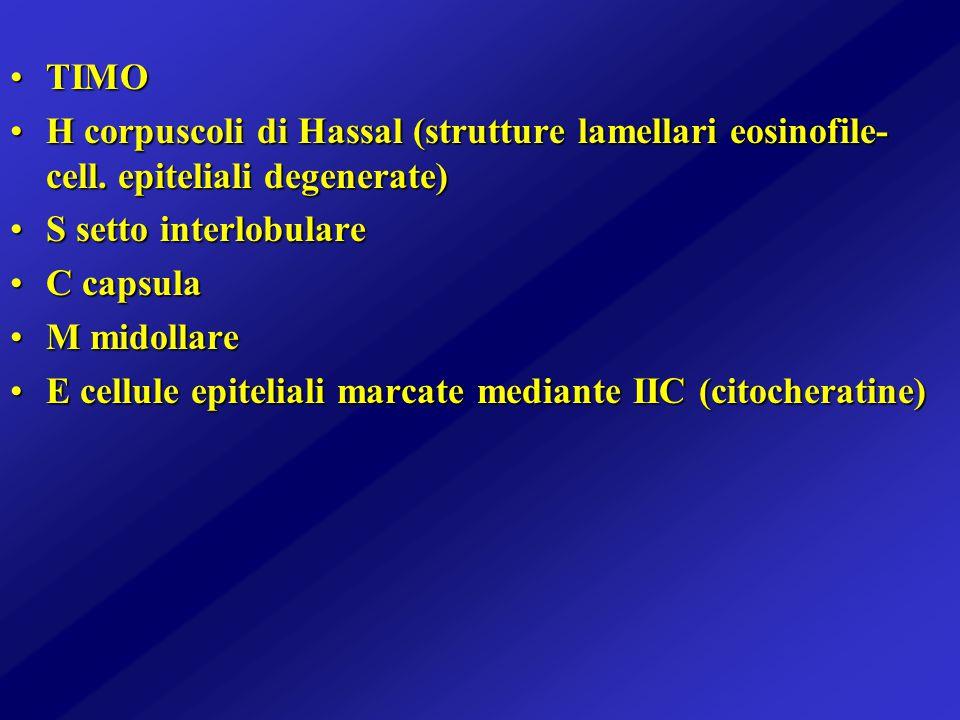 TIMOTIMO H corpuscoli di Hassal (strutture lamellari eosinofile- cell. epiteliali degenerate)H corpuscoli di Hassal (strutture lamellari eosinofile- c
