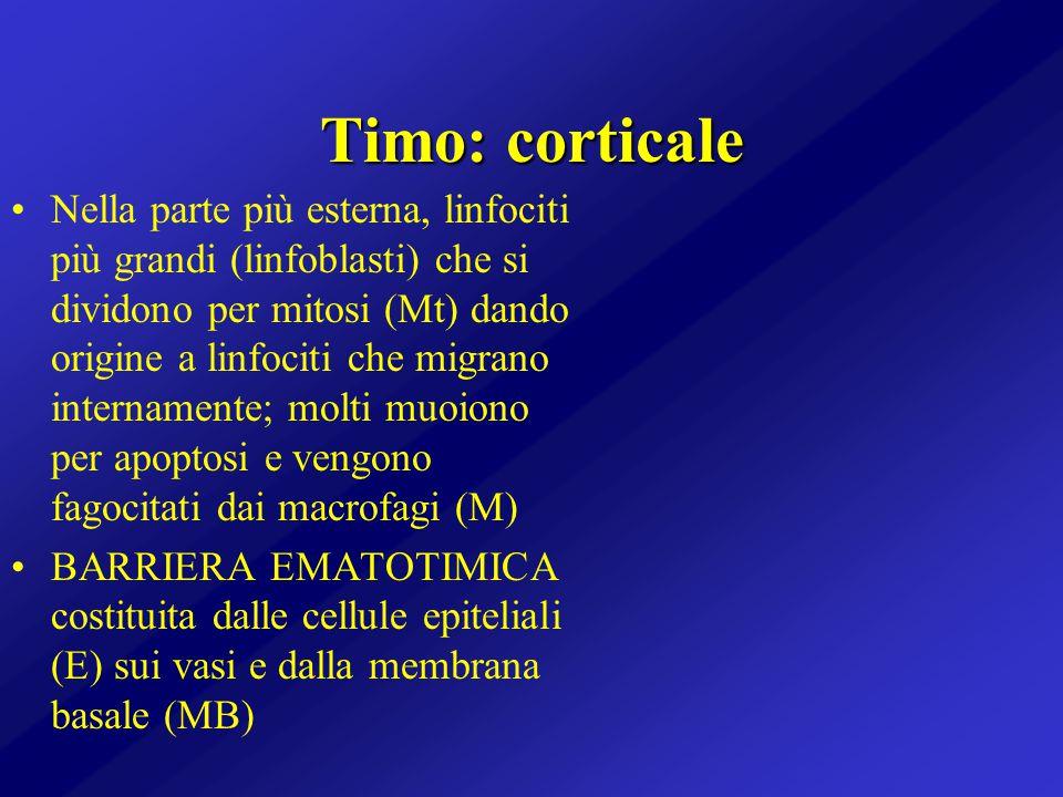Timo: corticale Nella parte più esterna, linfociti più grandi (linfoblasti) che si dividono per mitosi (Mt) dando origine a linfociti che migrano inte