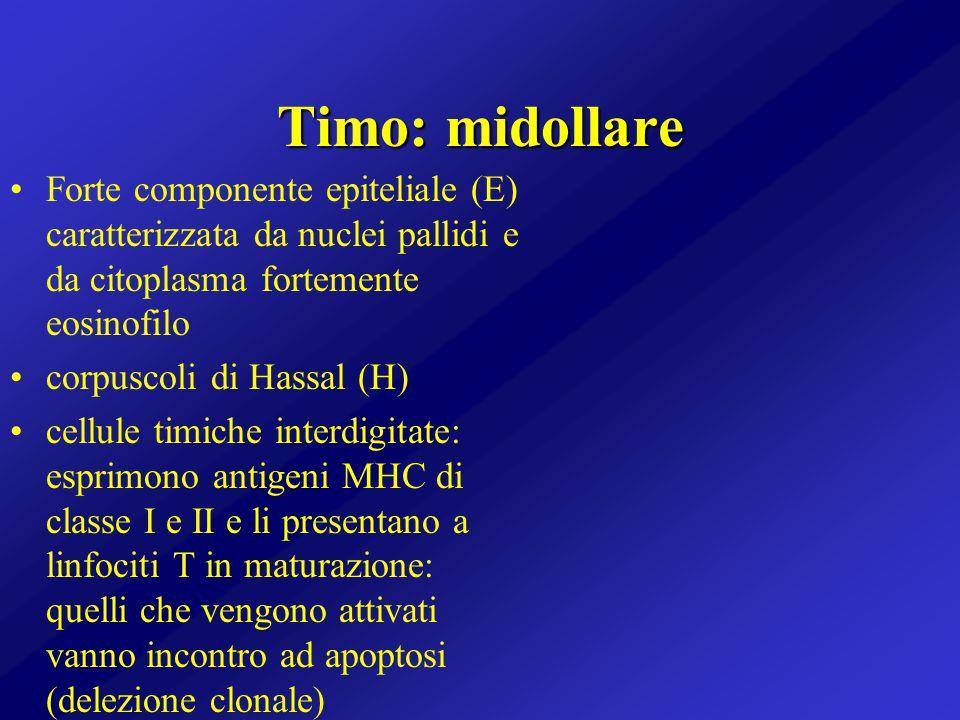 Timo: midollare Forte componente epiteliale (E) caratterizzata da nuclei pallidi e da citoplasma fortemente eosinofilo corpuscoli di Hassal (H) cellul