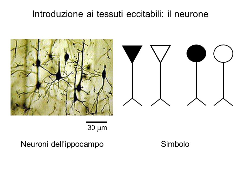 Introduzione ai tessuti eccitabili: il neurone Neuroni dell'ippocampoSimbolo 30  m