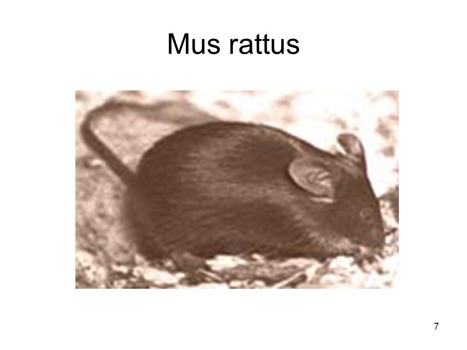 7 Mus rattus