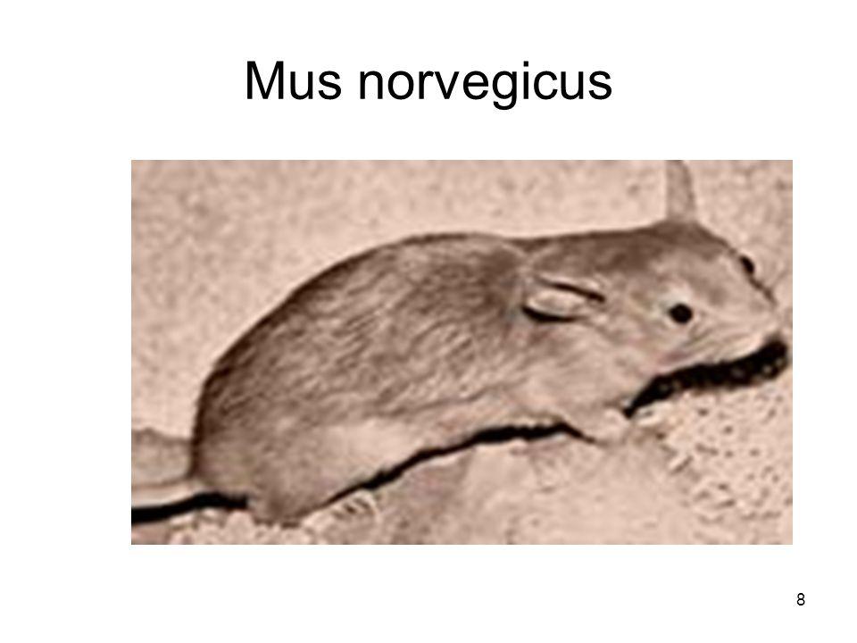 8 Mus norvegicus