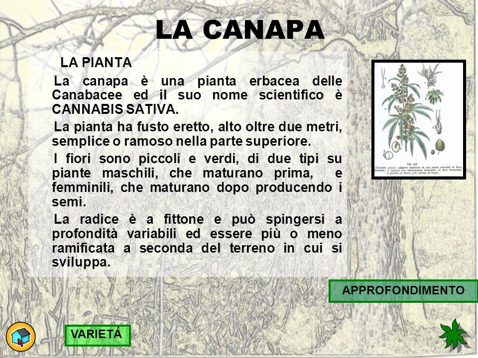 LA CANAPA LA PIANTA La canapa è una pianta erbacea delle Canabacee ed il suo nome scientifico è CANNABIS SATIVA.