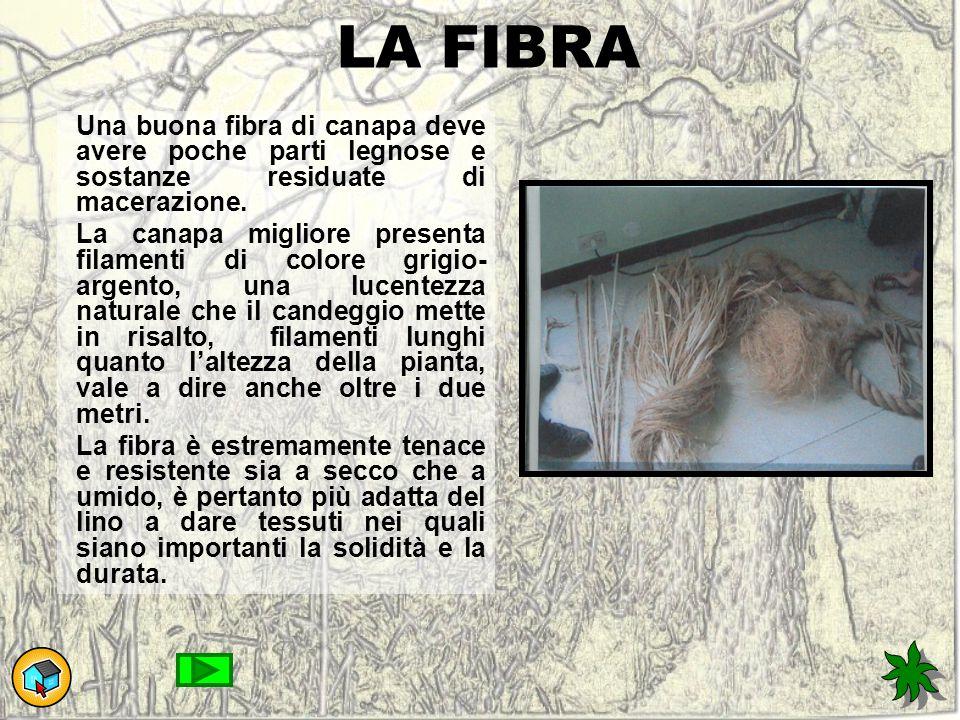 LA FIBRA Una buona fibra di canapa deve avere poche parti legnose e sostanze residuate di macerazione.