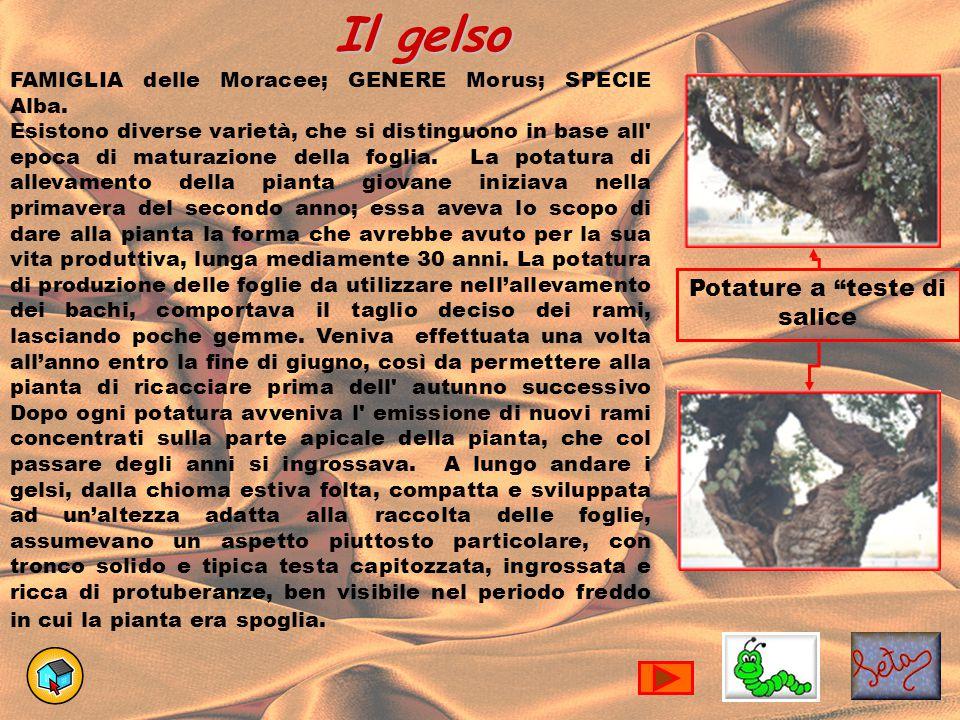 Il gelso FAMIGLIA delle Moracee; GENERE Morus; SPECIE Alba. Esistono diverse varietà, che si distinguono in base all' epoca di maturazione della fogli