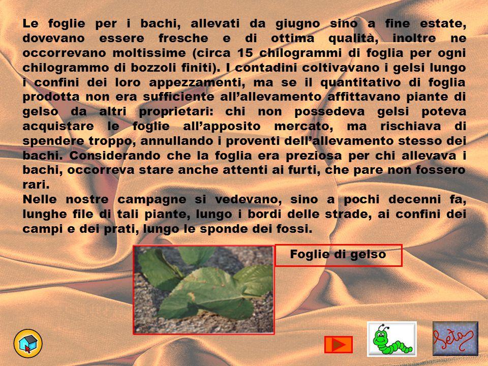 Le foglie per i bachi, allevati da giugno sino a fine estate, dovevano essere fresche e di ottima qualità, inoltre ne occorrevano moltissime (circa 15