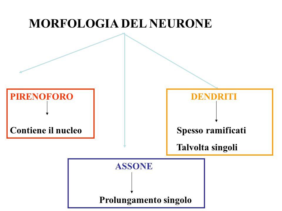 MORFOLOGIA DEL NEURONE PIRENOFORO Contiene il nucleo ASSONE Prolungamento singolo DENDRITI Spesso ramificati Talvolta singoli