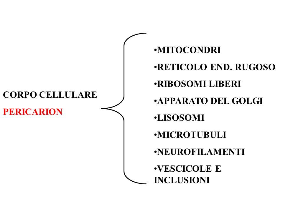 CORPO CELLULARE PERICARION MITOCONDRI RETICOLO END.