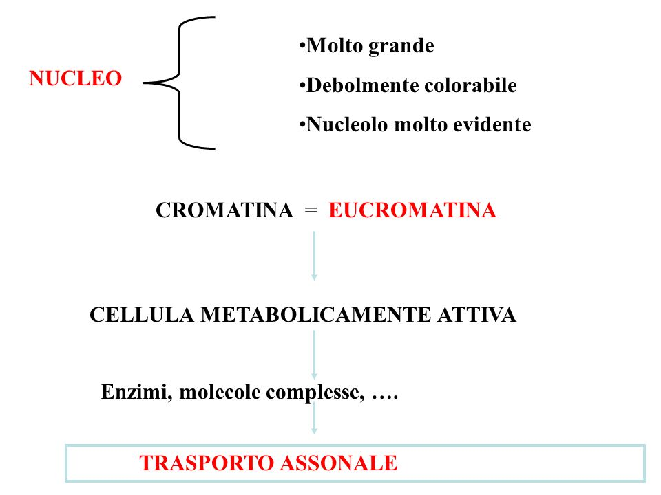 NUCLEO Molto grande Debolmente colorabile Nucleolo molto evidente CROMATINA = EUCROMATINA CELLULA METABOLICAMENTE ATTIVA Enzimi, molecole complesse, ….