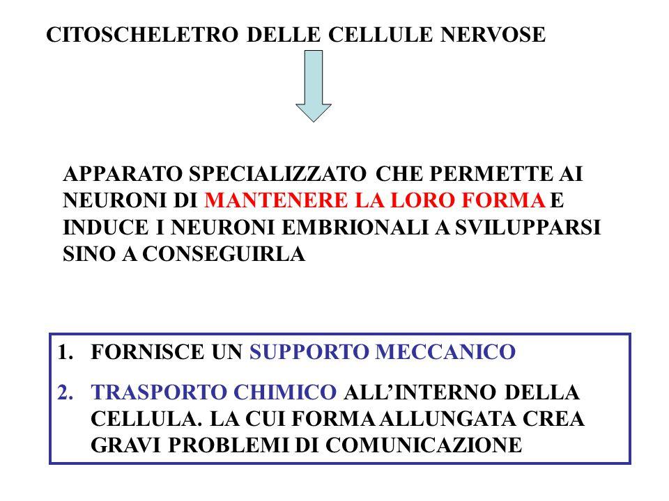 CITOSCHELETRO DELLE CELLULE NERVOSE APPARATO SPECIALIZZATO CHE PERMETTE AI NEURONI DI MANTENERE LA LORO FORMA E INDUCE I NEURONI EMBRIONALI A SVILUPPARSI SINO A CONSEGUIRLA 1.FORNISCE UN SUPPORTO MECCANICO 2.TRASPORTO CHIMICO ALL'INTERNO DELLA CELLULA.