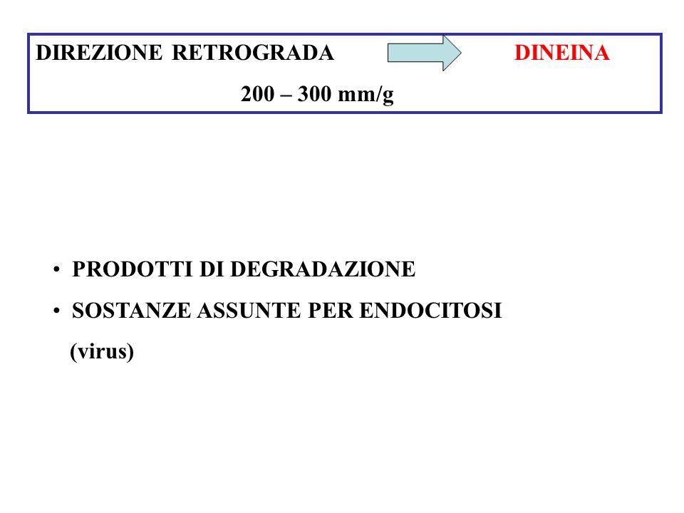 DIREZIONE RETROGRADA DINEINA 200 – 300 mm/g PRODOTTI DI DEGRADAZIONE SOSTANZE ASSUNTE PER ENDOCITOSI (virus)