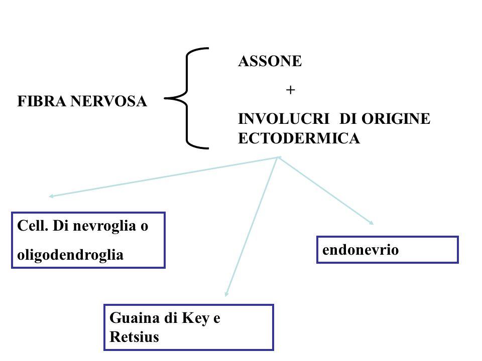 FIBRA NERVOSA ASSONE + INVOLUCRI DI ORIGINE ECTODERMICA Cell.