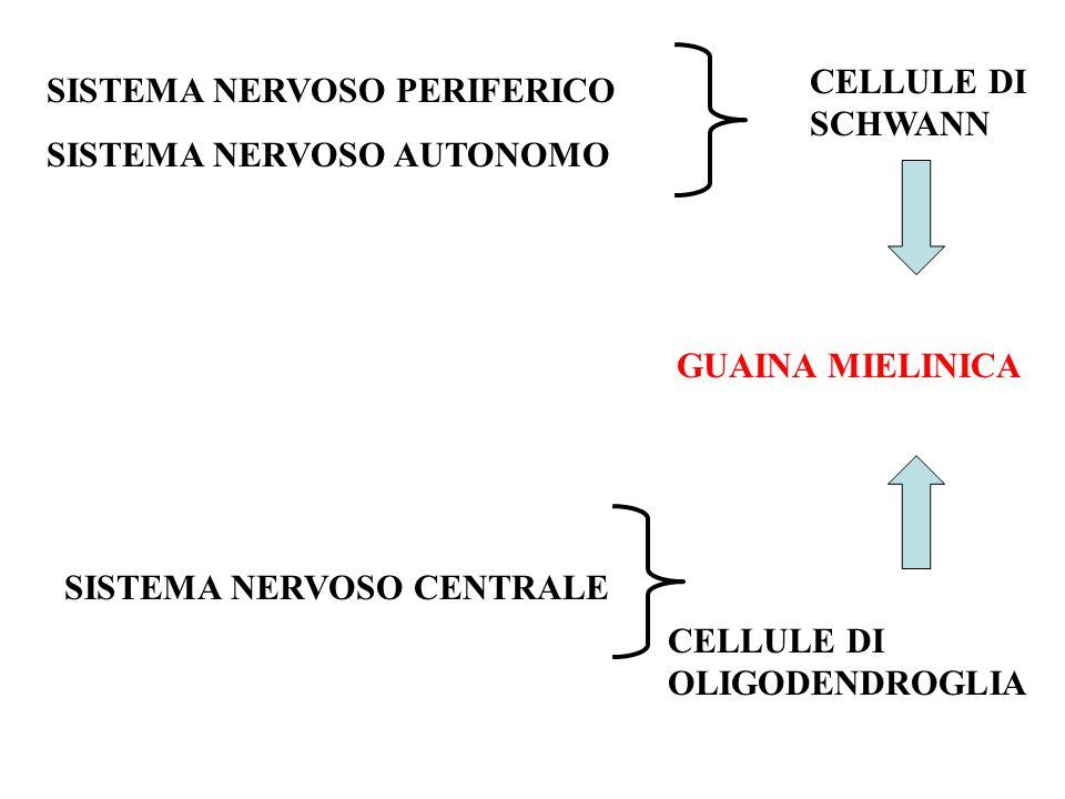 SISTEMA NERVOSO PERIFERICO SISTEMA NERVOSO AUTONOMO CELLULE DI SCHWANN GUAINA MIELINICA SISTEMA NERVOSO CENTRALE CELLULE DI OLIGODENDROGLIA