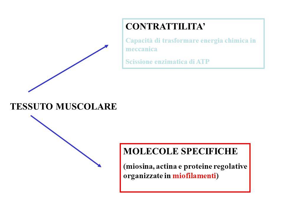 TESSUTO MUSCOLARE CONTRATTILITA' Capacità di trasformare energia chimica in meccanica Scissione enzimatica di ATP MOLECOLE SPECIFICHE (miosina, actina e proteine regolative organizzate in miofilamenti)