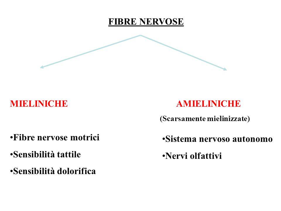 FIBRE NERVOSE MIELINICHE Fibre nervose motrici Sensibilità tattile Sensibilità dolorifica AMIELINICHE (Scarsamente mielinizzate) Sistema nervoso autonomo Nervi olfattivi