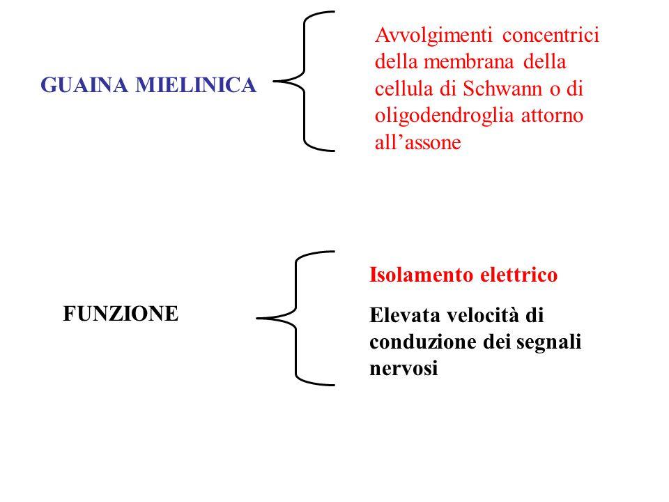 GUAINA MIELINICA Avvolgimenti concentrici della membrana della cellula di Schwann o di oligodendroglia attorno all'assone FUNZIONE Isolamento elettrico Elevata velocità di conduzione dei segnali nervosi