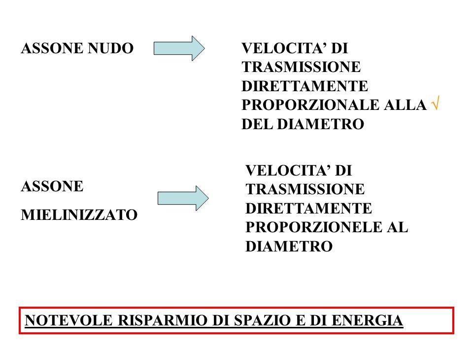 ASSONE NUDOVELOCITA' DI TRASMISSIONE DIRETTAMENTE PROPORZIONALE ALLA  DEL DIAMETRO ASSONE MIELINIZZATO VELOCITA' DI TRASMISSIONE DIRETTAMENTE PROPORZIONELE AL DIAMETRO NOTEVOLE RISPARMIO DI SPAZIO E DI ENERGIA