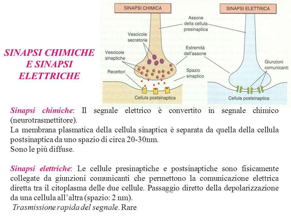 SINAPSI CHIMICHE E SINAPSI ELETTRICHE Sinapsi chimiche: Il segnale elettrico è convertito in segnale chimico (neurotrasmettitore).