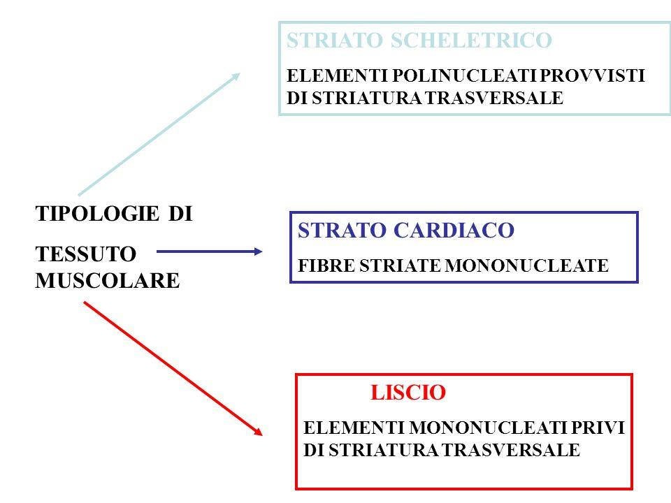 TIPOLOGIE DI TESSUTO MUSCOLARE STRIATO SCHELETRICO ELEMENTI POLINUCLEATI PROVVISTI DI STRIATURA TRASVERSALE STRATO CARDIACO FIBRE STRIATE MONONUCLEATE LISCIO ELEMENTI MONONUCLEATI PRIVI DI STRIATURA TRASVERSALE