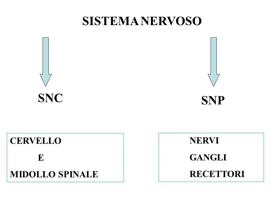 SISTEMA NERVOSO SNC SNP CERVELLO E MIDOLLO SPINALE NERVI GANGLI RECETTORI