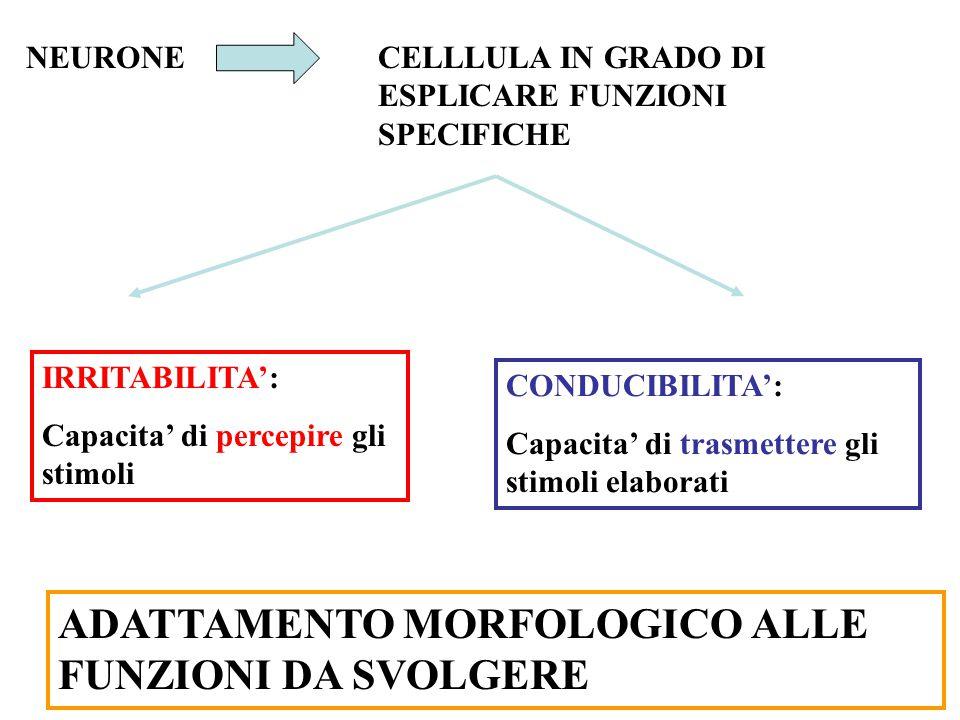 NEURONECELLLULA IN GRADO DI ESPLICARE FUNZIONI SPECIFICHE IRRITABILITA': Capacita' di percepire gli stimoli CONDUCIBILITA': Capacita' di trasmettere gli stimoli elaborati ADATTAMENTO MORFOLOGICO ALLE FUNZIONI DA SVOLGERE