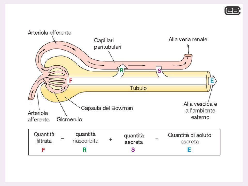 L'urina viene formata mediante 3 processi ULTRAFILTRAZIONE del plasma RIASSORBIMENTO di acqua e soluti dall' ultrafiltrato SECREZIONE selettiva di alcune sostanze dai capillari al liquido tubulare
