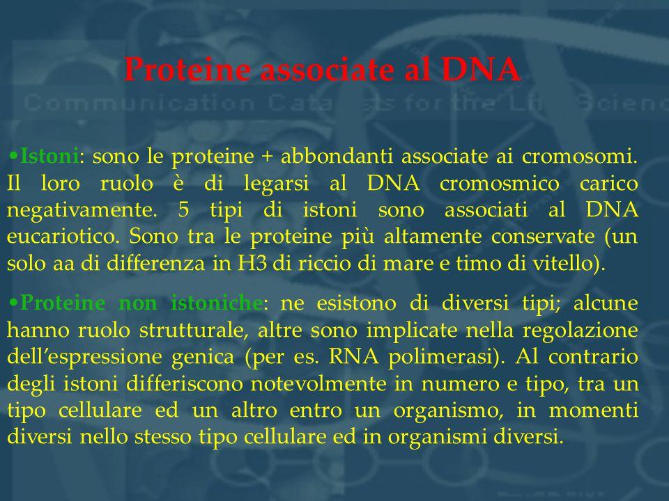 Proteine associate al DNA Istoni: sono le proteine + abbondanti associate ai cromosomi. Il loro ruolo è di legarsi al DNA cromosmico carico negativame