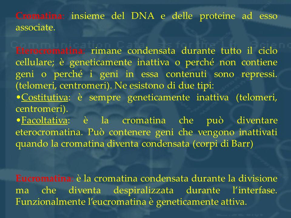 Cromatina: insieme del DNA e delle proteine ad esso associate. Eterocromatina: rimane condensata durante tutto il ciclo cellulare; è geneticamente ina