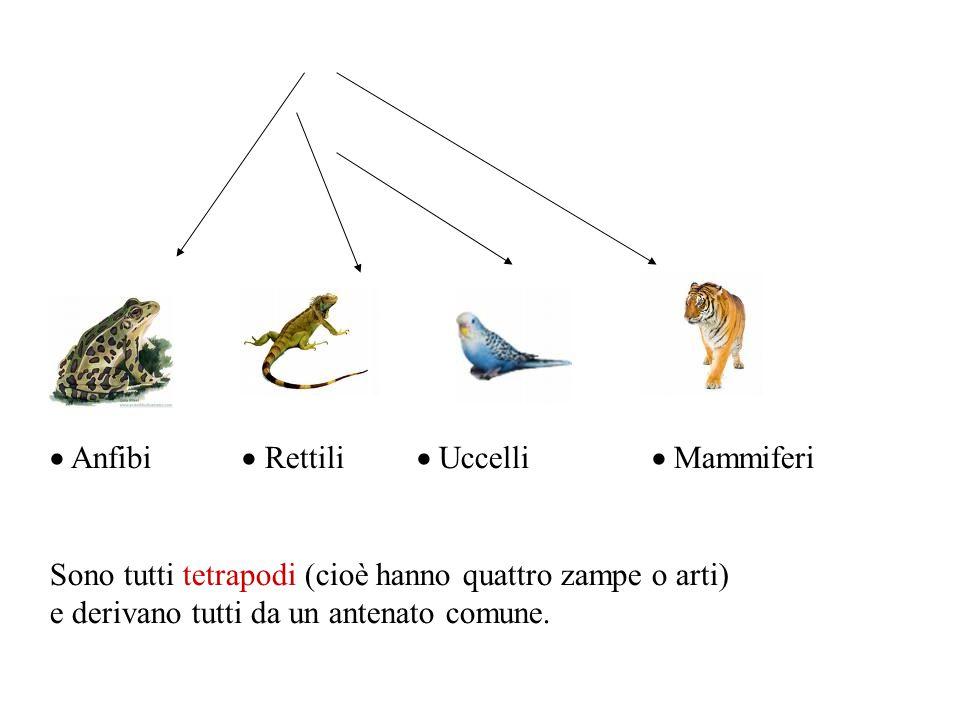  Anfibi  Rettili  Uccelli  Mammiferi Sono tutti tetrapodi (cioè hanno quattro zampe o arti) e derivano tutti da un antenato comune.