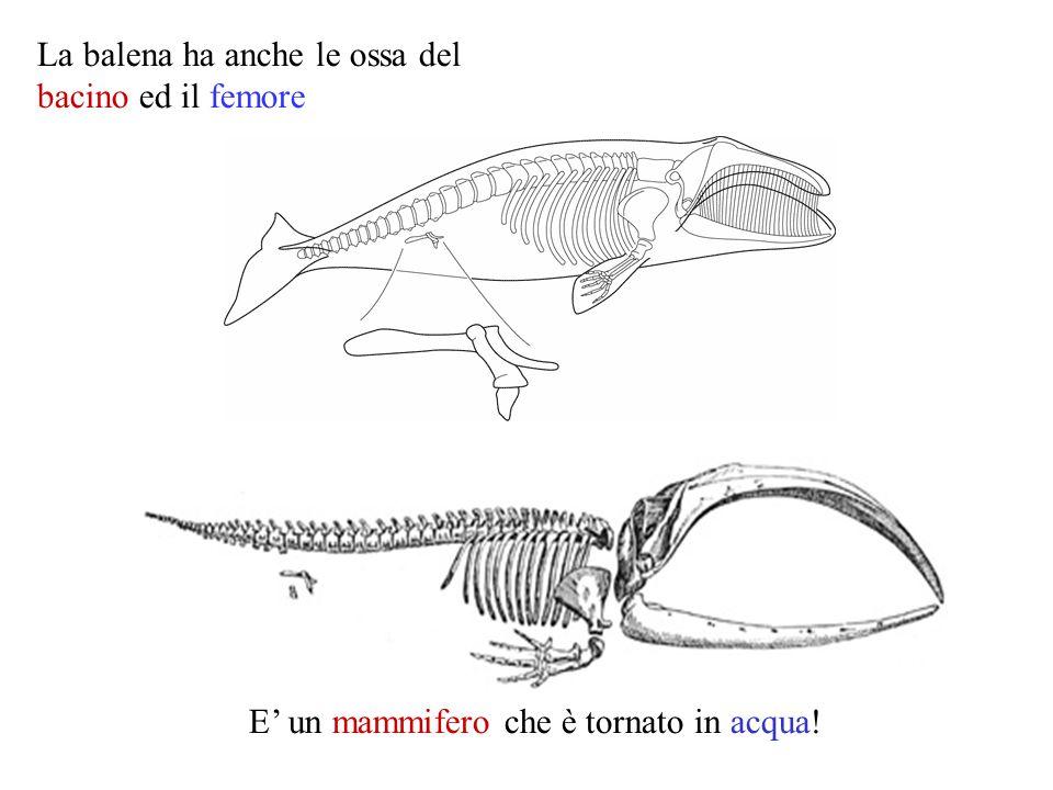 La balena ha anche le ossa del bacino ed il femore E' un mammifero che è tornato in acqua!