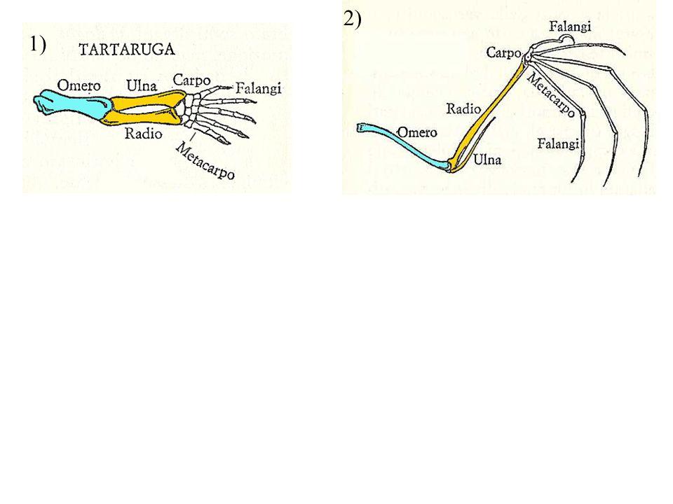 Gli stadi precoci di sviluppo degli embrioni assomigliano agli organismi da cui si sono evoluti