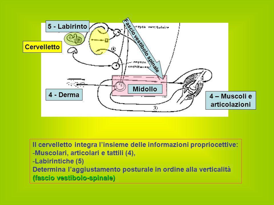 Il cervelletto integra l'insieme delle informazioni propriocettive: -M-Muscolari, articolari e tattili (4), -L-Labirintiche (5) Determina l'aggiustame