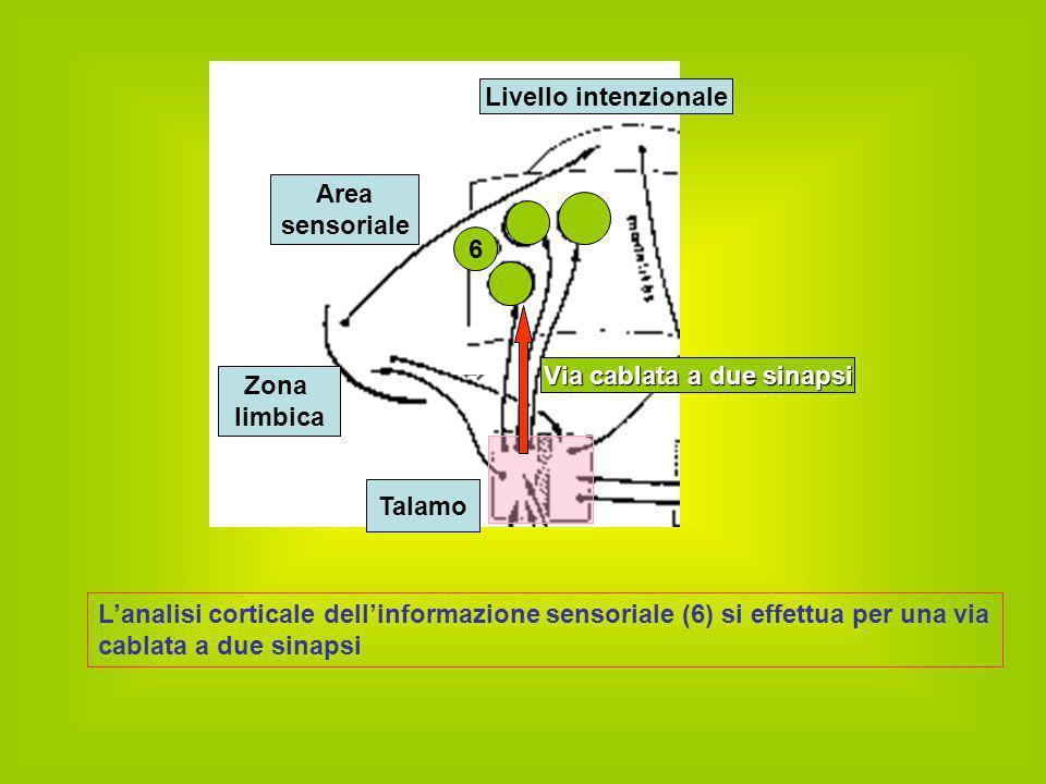 L'analisi corticale dell'informazione sensoriale (6) si effettua per una via cablata a due sinapsi Zona limbica Livello intenzionale Talamo 6 Via cabl