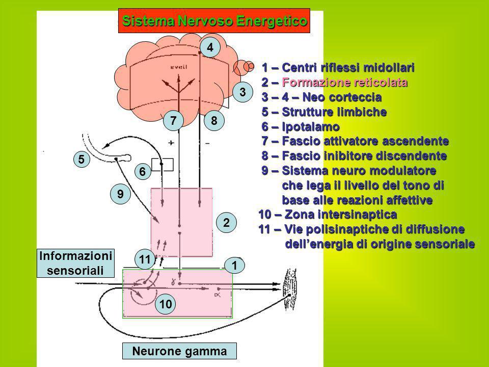 1 – Centri riflessi midollari 2 – Formazione reticolata 3 – 4 – Neo corteccia 5 – Strutture limbiche 6 – Ipotalamo 7 – Fascio attivatore ascendente 8
