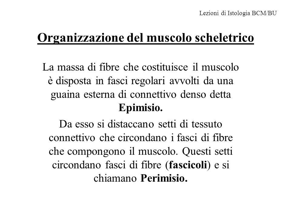 Organizzazione del muscolo scheletrico La massa di fibre che costituisce il muscolo è disposta in fasci regolari avvolti da una guaina esterna di connettivo denso detta Epimisio.