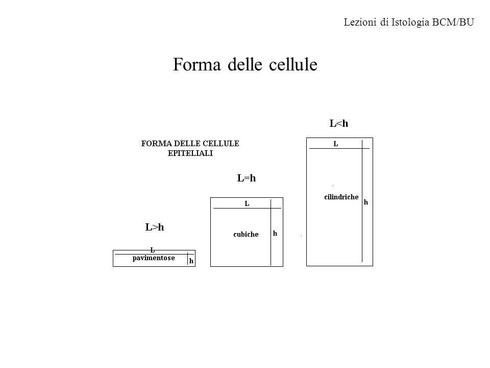 Forma delle cellule Lezioni di Istologia BCM/BU