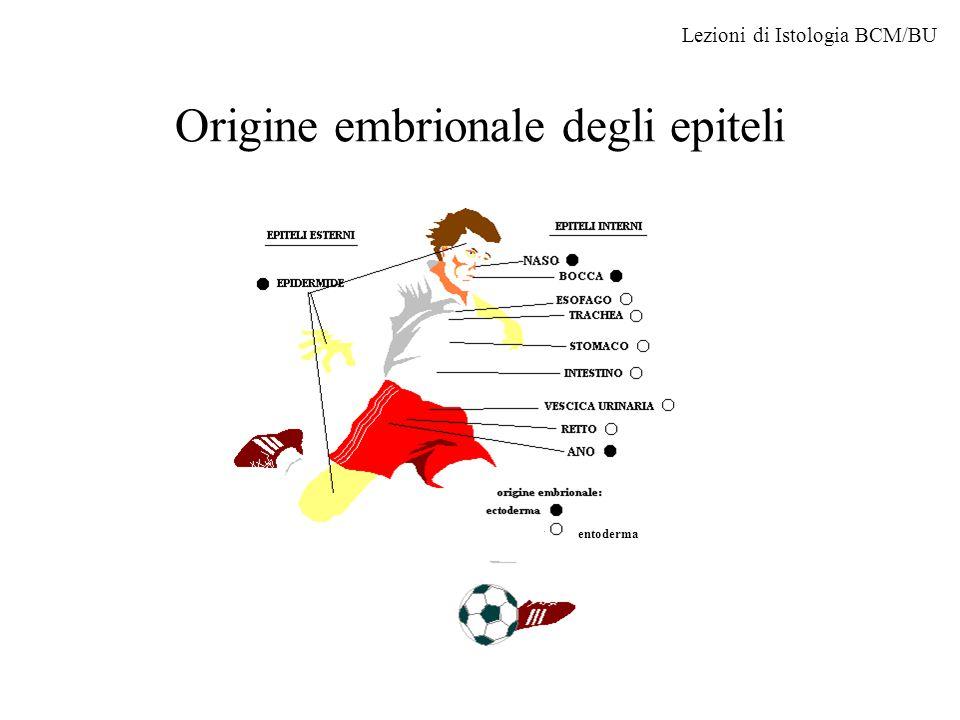 Origine embrionale degli epiteli entoderma Lezioni di Istologia BCM/BU