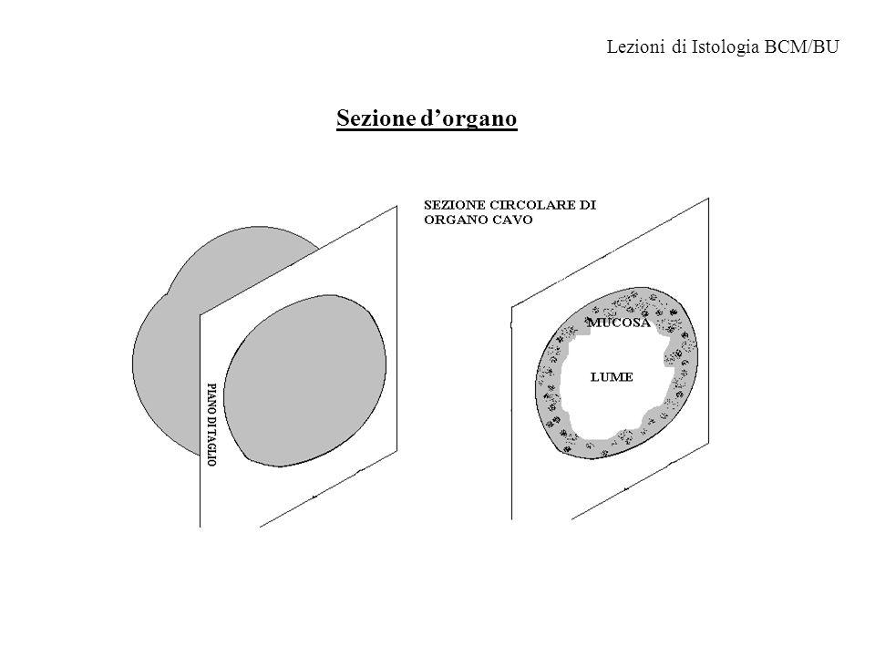 Sezione d'organo Lezioni di Istologia BCM/BU
