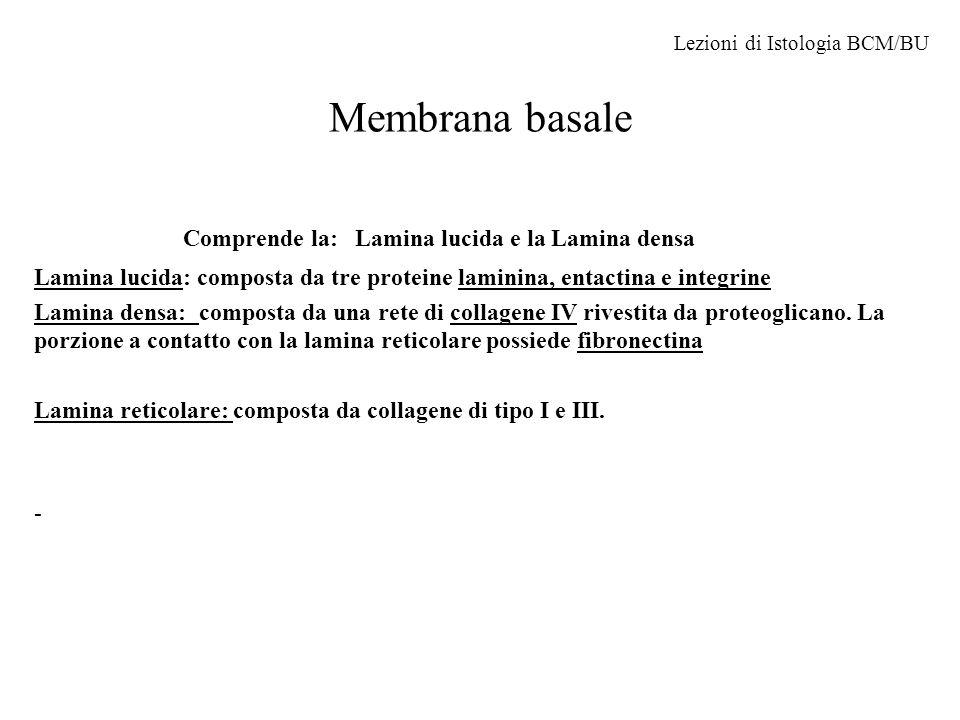 Membrana basale Comprende la: Lamina lucida e la Lamina densa Lamina lucida: composta da tre proteine laminina, entactina e integrine Lamina densa: co