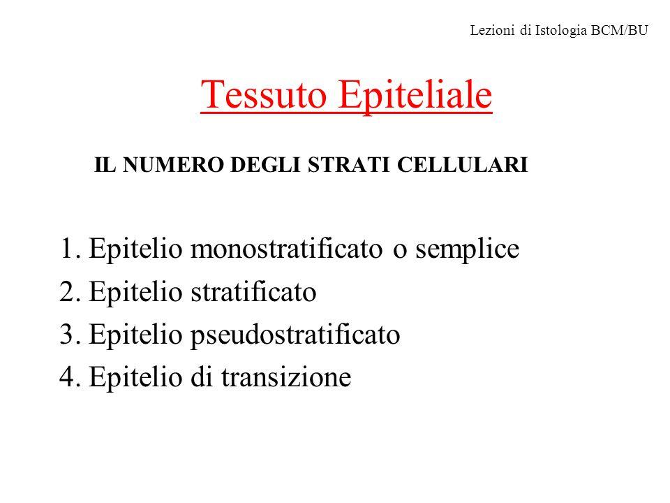 Tessuto Epiteliale IL NUMERO DEGLI STRATI CELLULARI 1. Epitelio monostratificato o semplice 2. Epitelio stratificato 3. Epitelio pseudostratificato 4.
