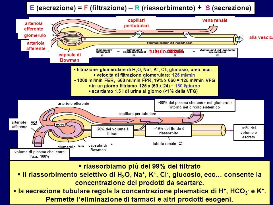 Rene_22 arteriole efferente arteriole afferente glomerulo capsula di Bowman capillara peritubulare tubulo renale >99% del plasma che entra nel glomeru