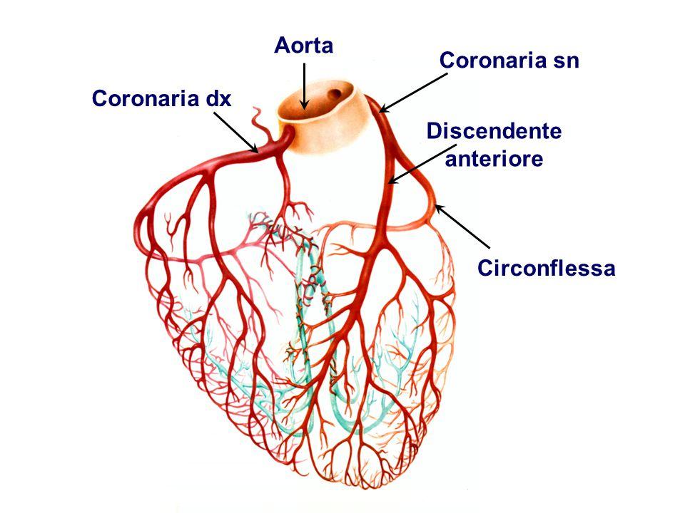 Aorta Coronaria dx Coronaria sn Circonflessa Discendente anteriore