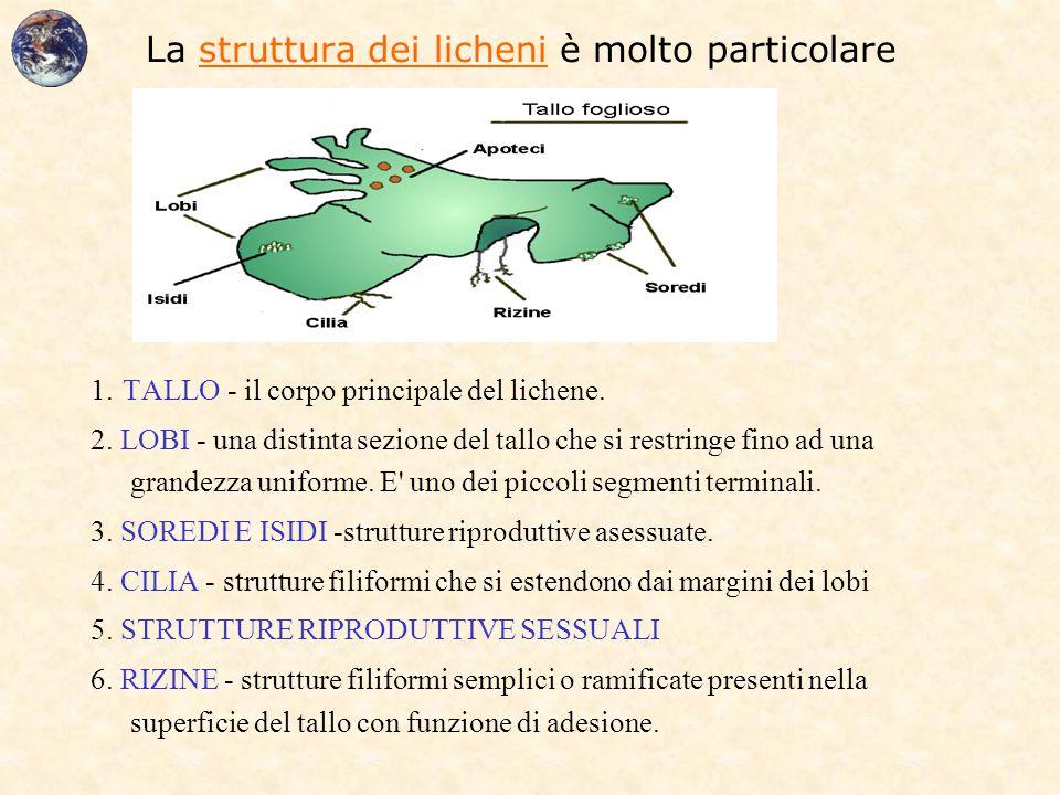 La struttura dei licheni è molto particolare 1. TALLO - il corpo principale del lichene. 2. LOBI - una distinta sezione del tallo che si restringe fin