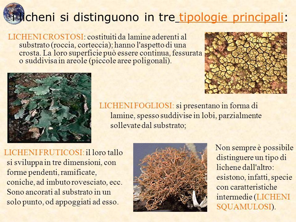 i licheni si distinguono in tre tipologie principali: LICHENI CROSTOSI: costituiti da lamine aderenti al substrato (roccia, corteccia); hanno l'aspett